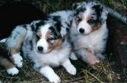 Kismet Puppies